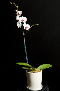 phaelanopsis_orchid