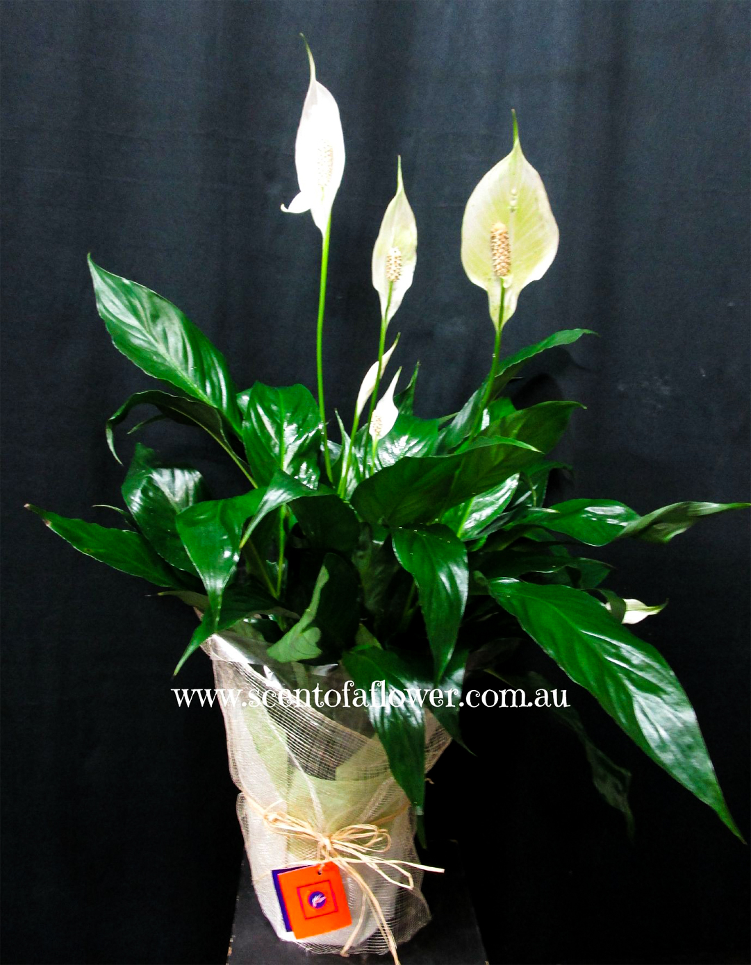 Peace lily scent of a flower peace lily izmirmasajfo
